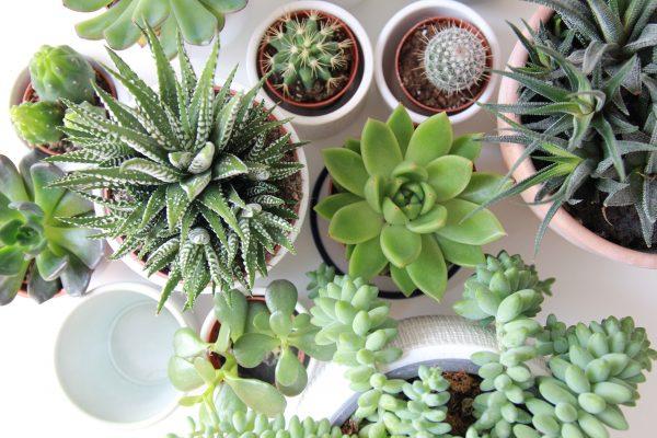 Choisir sa plante d'intérieur : plante grasse miniature