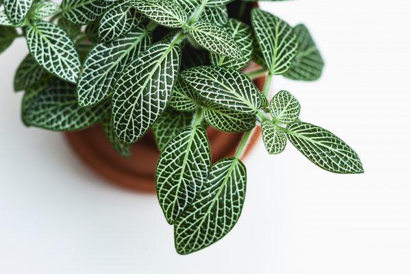 Choisir sa plante d'intérieur : plante tropicale graphique
